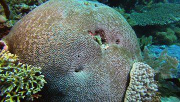 Brain Corals - Koralowce mózgowe, mózgowniki